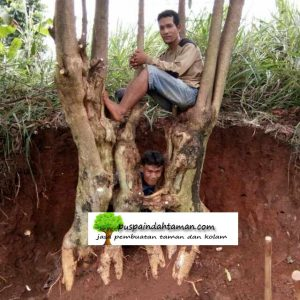 Supplier Pohon Pule di Jakarta