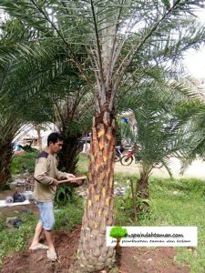 Jual Pohon Kurma bogor
