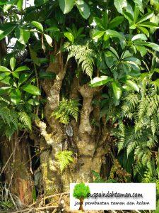bibit pohon pule