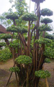 jual pohon beringin korea