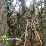 Jua Pohon kamboja Fosil