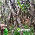 Tukang Pohon Kamboja Fosil