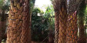 Harga Pohon Kenari