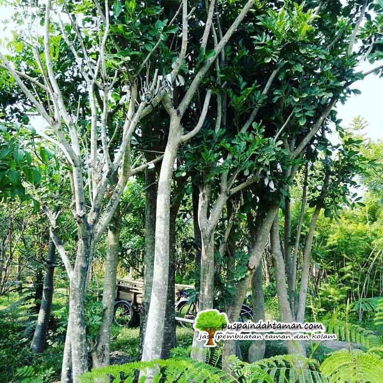 Harga Pohon Sosis