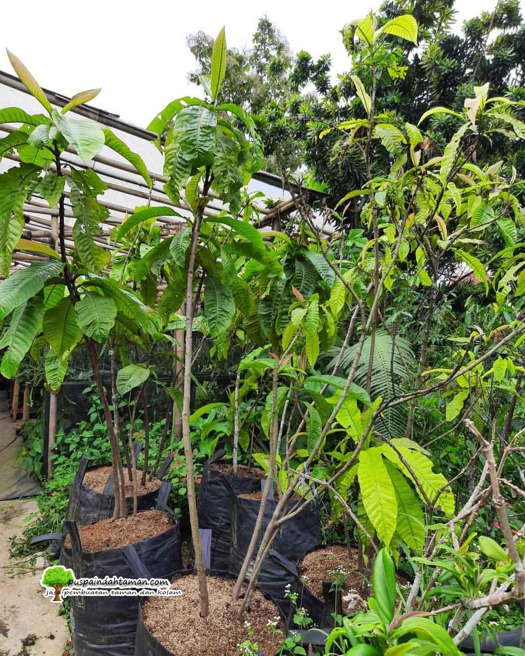 Harga Pohon Warwesia