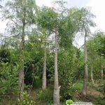 Jual Pohon Kelor Afrika