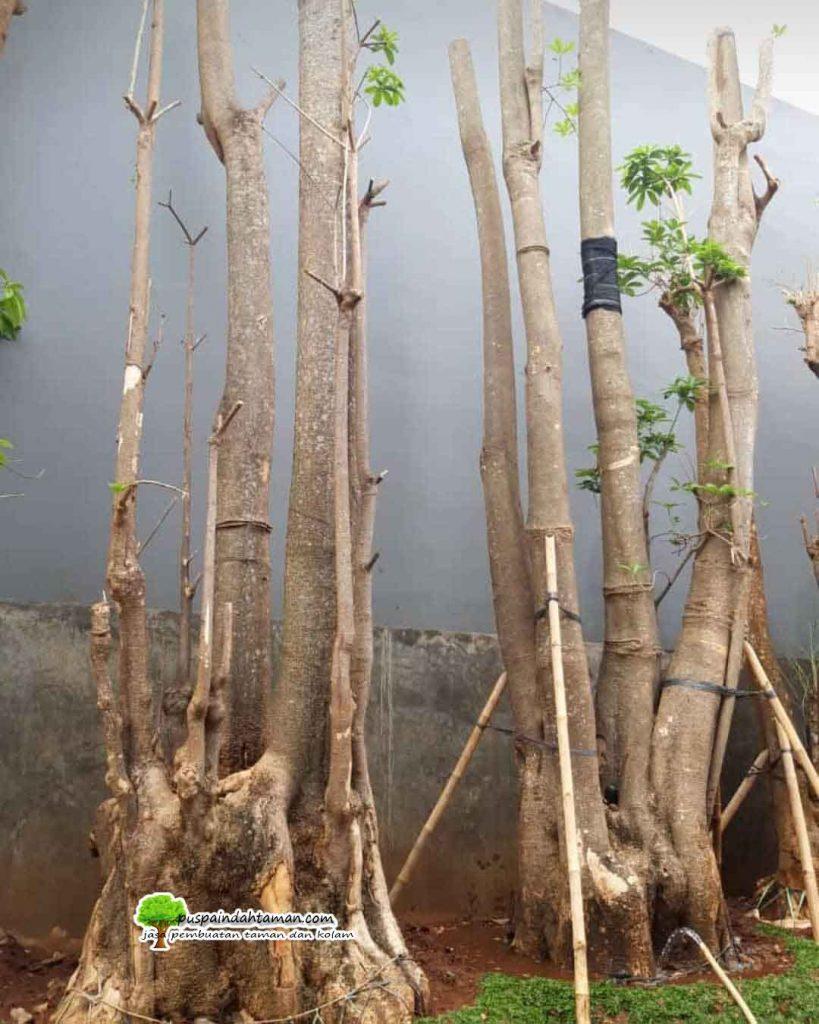 jual Pohon Pule Gruping