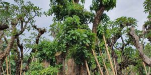 Jual Pohon Putat