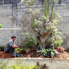 Jual Pohon Randu Varigata