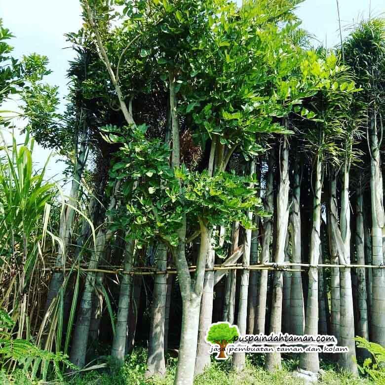 Jual Pohon Sosis