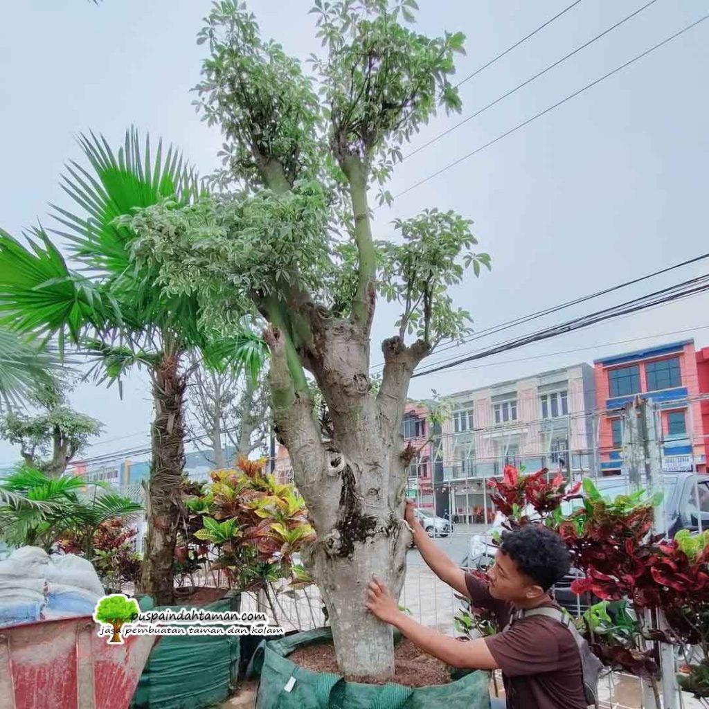Penjual Pohon Randu