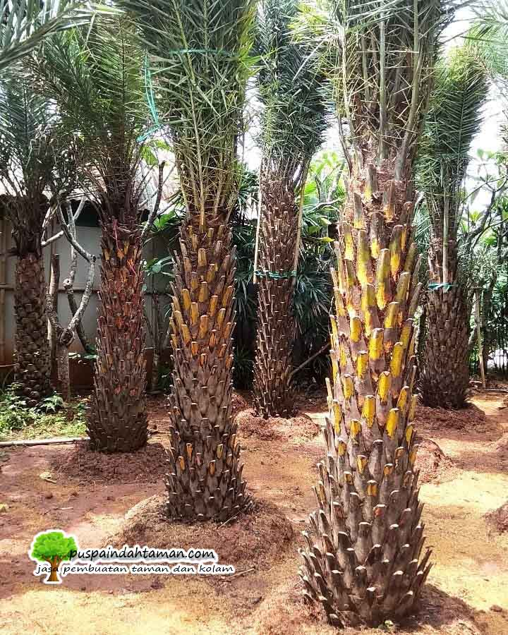 Tukang Pohon Kenari