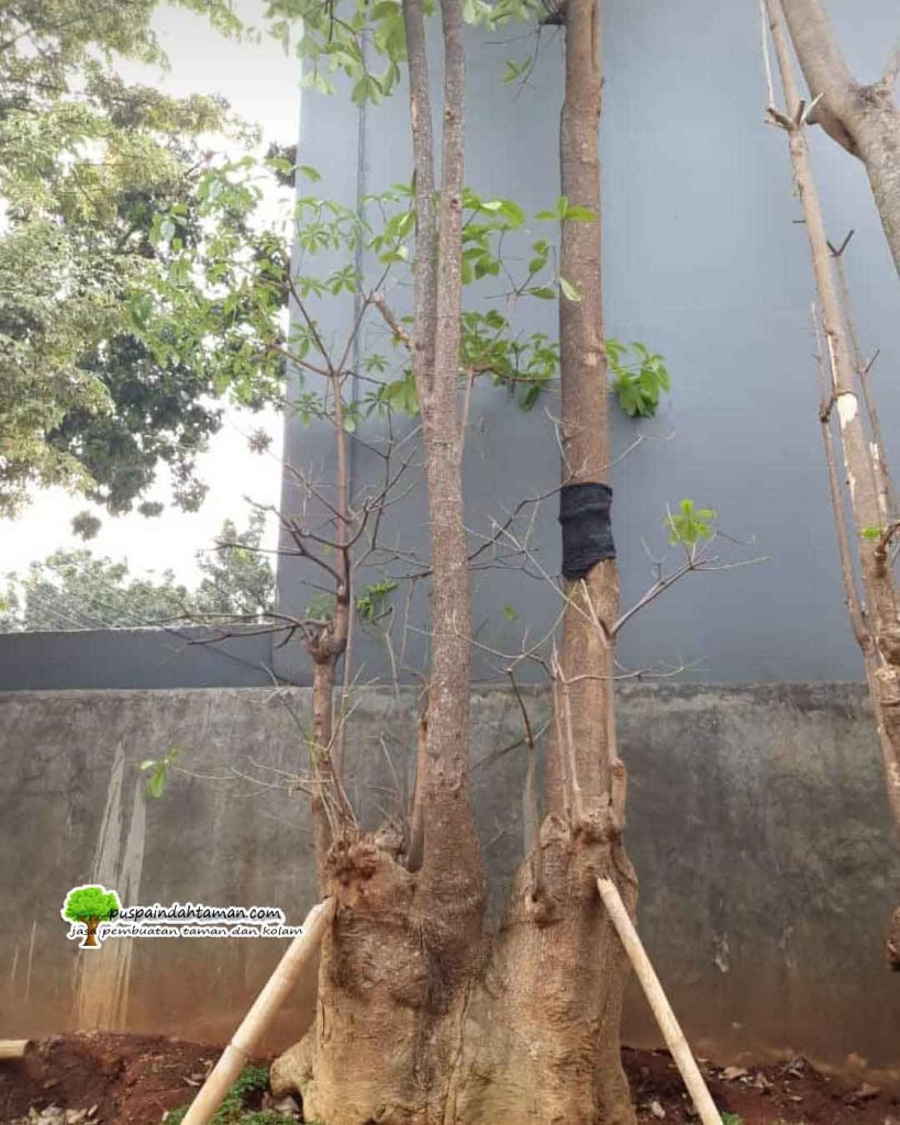 Tukang Pohon Pule Cabang