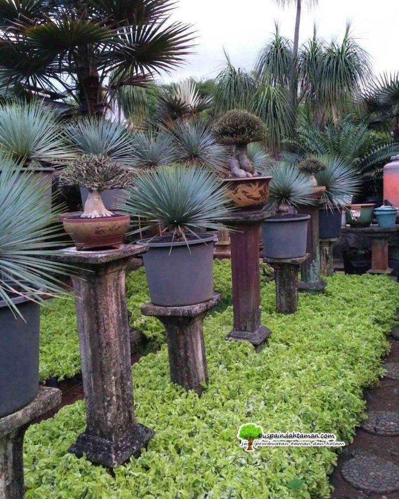 jual Pohon Yucca Rostata